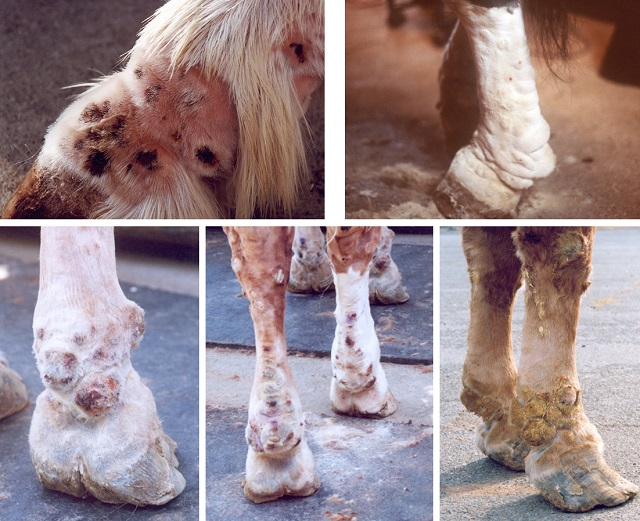 Pictures of horse legs showing the clinical signs of CPL