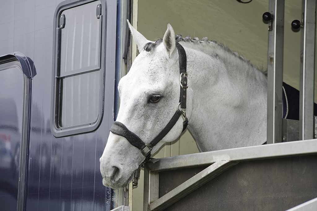 horse looking out of trailer window