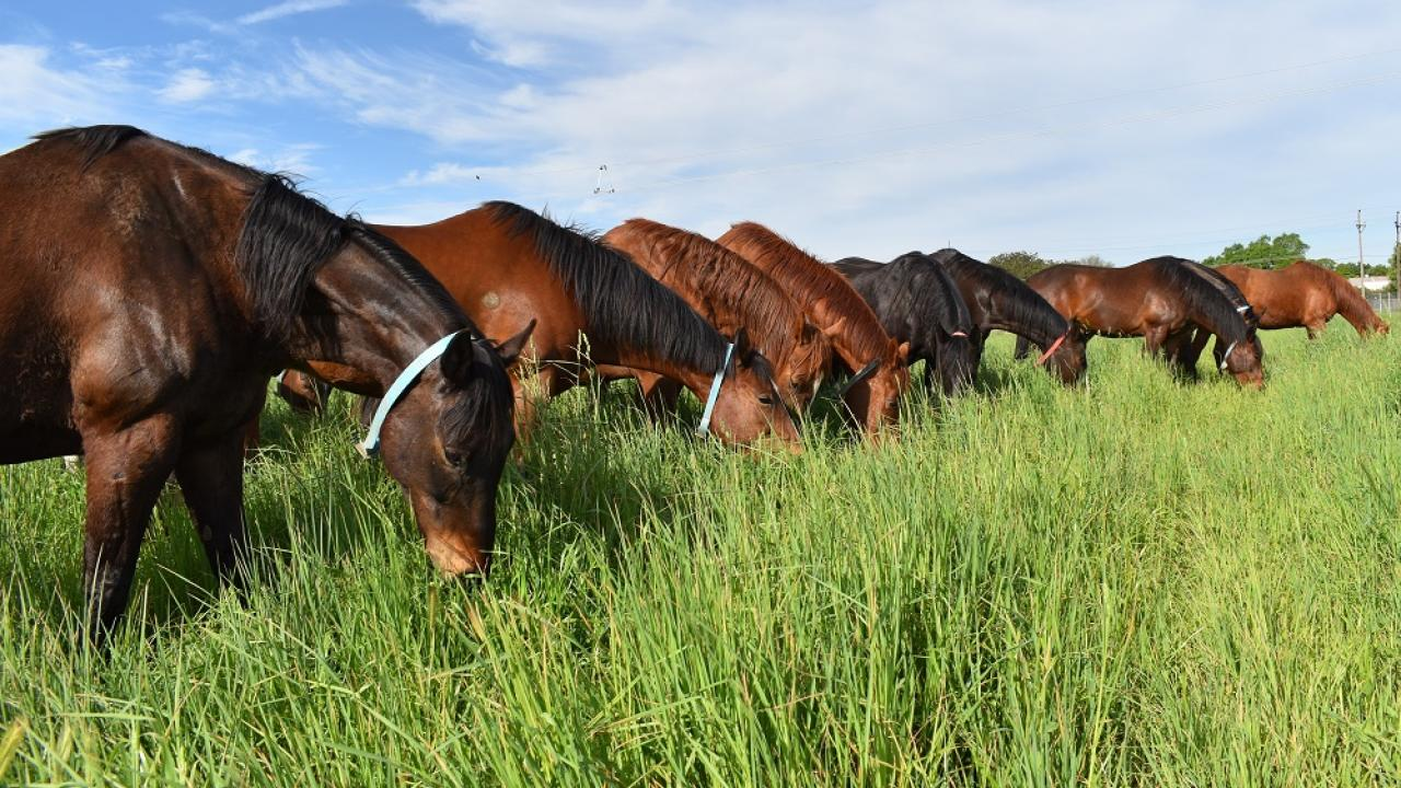 Teaching herd horses enjoying one of the irrigated pastures at the Center for Equine Health