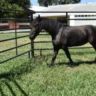 Picture of a dwarf Friesian