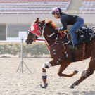 Dr. Sue Stover has conducted several studies looking at different surface areas that equine athletes compete on and how they impact the biomechanics of the horse.