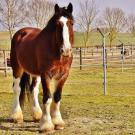 Shire horse standing in a field